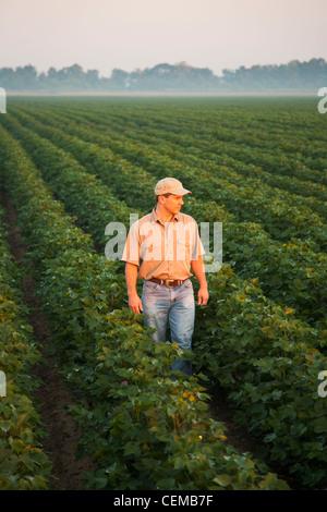 Ein Bauer (Züchter) zu Fuß durch und prüfen seine Mitte Wachstum Ende Boll set Bühne Baumwollernte im dunstigen - Stockfoto
