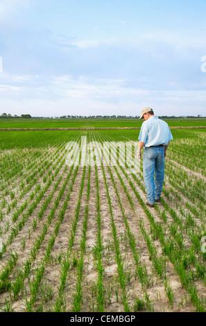 Landwirtschaft - ein Bauer (Züchter) führt durch sein Feld überprüfen den Fortschritt seiner frühen Wachstum Reisernte - Stockfoto