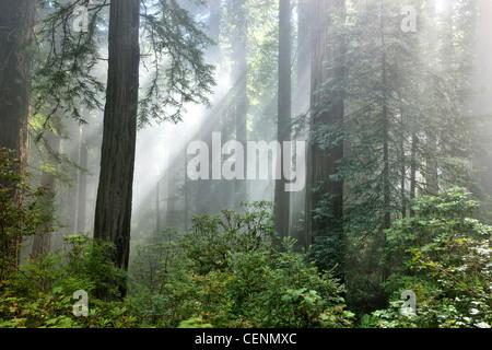 """Rotholz-Wald """"Sequoia sempervirens"""" Sonnenstrahlen, die durch frühen Morgennebel durchziehen. - Stockfoto"""