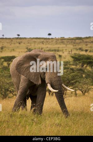 Riesigen Elefantenbullen In die Masai Mara Wildreservat; Masai Mara Kenia - Stockfoto