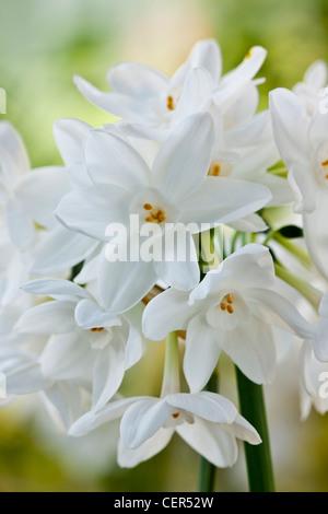 Paperwhite Narcissus Papyraceus Duft Duft Parfüm Frühjahr Lampe ...