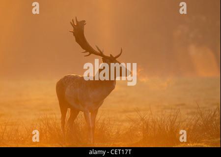 Ein Damhirsch Standing im Norfolk Landschaft im Morgennebel. - Stockfoto