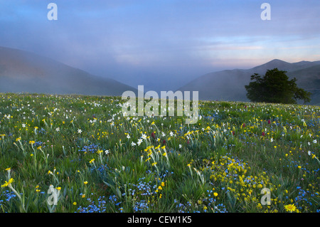 wilde Blumen wachsen mit Forca Canapine, Nationalpark Monti Sibillini, Umbrien, Italien. (NR) Stockfoto