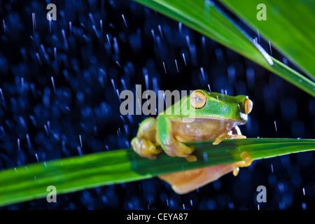 Kleinen grünen Laubfrosch auf grüne Blatt im Regen sitzen - Stockfoto