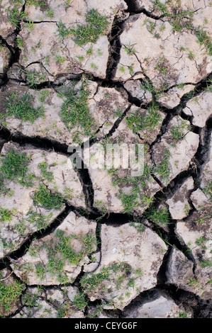 Grass regenerierend auf einem trockenen knacken Lehm Boden Seebett in der indischen Landschaft - Stockfoto