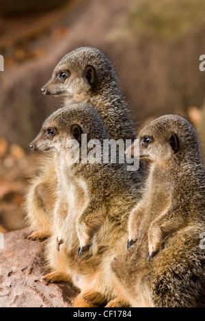 Gruppe von Erdmännchen Suricata Suricatta auf alert Suche im zoo - Stockfoto