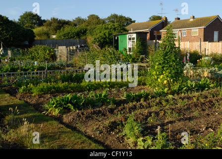 Gemüse wächst auf einer Zuteilung. - Stockfoto