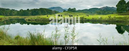 Eine klassische Ansicht von sanften Hügeln, Weiden und weidenden Kühen reflektiert auf die noch Wasseroberfläche - Stockfoto