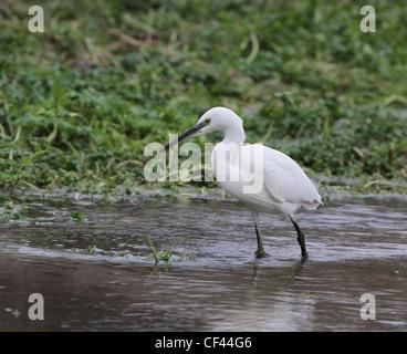 Seidenreiher (Egretta Garzetta) Angeln im Fluss Meon in Hampshire - Stockfoto