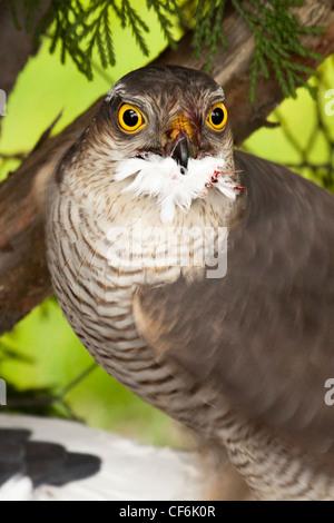 Sperber - Accipiter nisus - Stockfoto