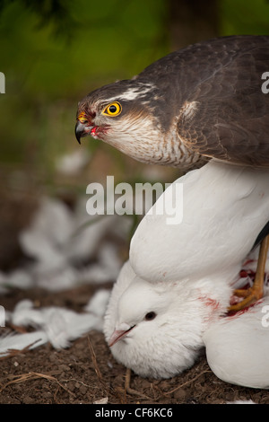 Sperber - Accipiter nisus - Stockfoto