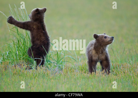 Alaskan Brown bear Cubs spielen Stockfoto