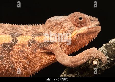 Captive weiblichen Pantherchamäleon (Furcifer Pardalis) mit einem deformierten Kiefer durch Kalziummangel verursacht. - Stockfoto