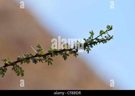 Nahaufnahme der Niederlassung und Dornen von einem Regenschirm Thorn Akazien (Acacia Tortilis) fotografiert in Israel, - Stockfoto
