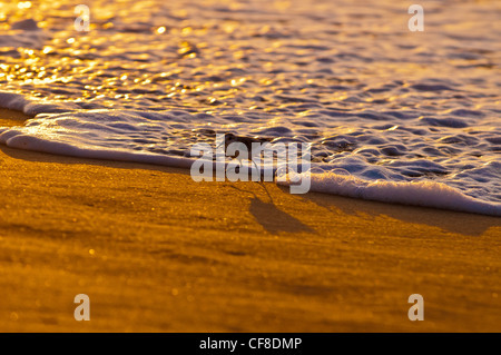 Sanderlinge-'Hunakai' in der hawaiianischen Sprache (Calidris Alba), Polihale Beach, Kauai, Hawaii - Stockfoto
