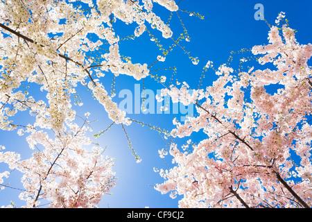 Sonnenlicht durch die Äste der Bäume der Kirschblüte in voller Spitze Blüte Overhead. Amerikanische Hanami in Washington - Stockfoto