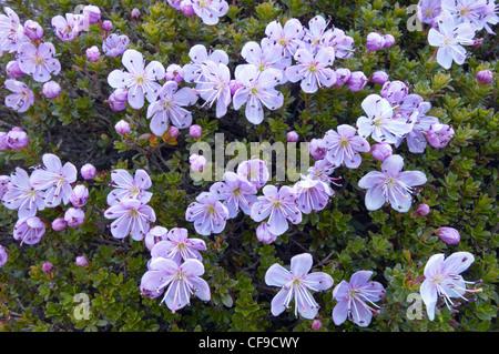 Lila Blumen Steinbrech (Saxifraga Oppositifolia), Triglavaski Nationalpark, Julischen Alpen, Slowenien - Stockfoto
