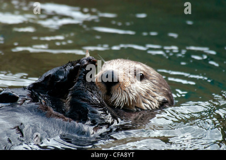 Enhydra Lutris, Otter, Seeotter, Tier, Wasser - Stockfoto