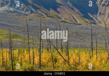 Natürliche Regeneration der Wald nach Waldbrand auf Sofa Berg, Waterton Lakes National Park, Alberta, Kanada. - Stockfoto