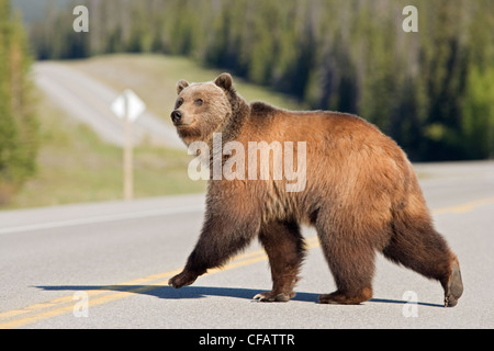 Grizzly Bär (Ursus Arctos Horribilis) überquert der Highway 11 in der Nähe von Timber Creek, Alberta, Kanada - Stockfoto