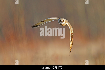 Short Eared Owl (Asio Flammeus) - Stockfoto
