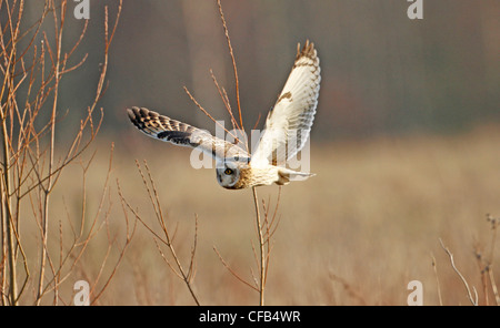 Short Eared Owl (Asio Flammeus) - Stockfoto