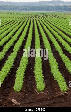 Schneiden Sie Karotten wachsen organisch Muck Boden Holland - Stockfoto