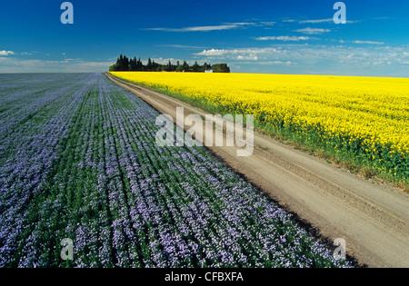 Straße durch blühende Flachs und Raps Felder, Tiger Hügel in der Nähe von Somerset, Manitoba, Kanada - Stockfoto