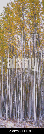 Stand der Espe Bäume in herbstlichen Farben nach dem ersten Schneefall in den borealen Wald von Nord-Alberta, Valleyview, - Stockfoto