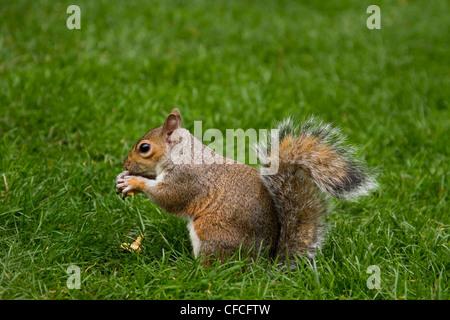 Graue Eichhörnchen in St James Park, London - Stockfoto