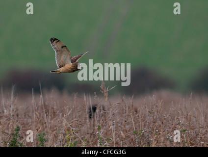 SHORT-EARED Eule Asio Flammeus IN Flug Jagd für Nahrung - Stockfoto