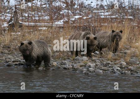 Grizzly Bear 1. Jahr Cubs (Ursus Arctos) auf Fishing Branch River, Ni'iinlii Njik Ecological Reserve, Yukon Territorium, - Stockfoto