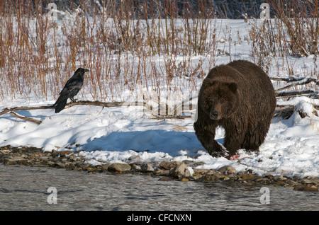 Grizzly Bär (Ursus Arctos) und Raven entlang Fishing Branch River, Ni'iinlii Njik Ecological Reserve, Yukon Territorium, - Stockfoto