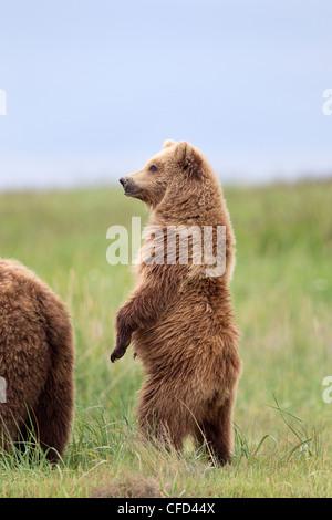 Grizzly Bear/Alaskbrown Bär Ursus arctos - Stockfoto