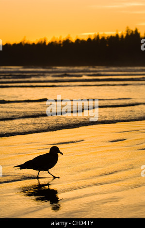 Pacific Rim National Park, Long Beach, Sea Gull Spaziergänge Küstenlinie, Vancouver Island, British Columbia, Kanada. - Stockfoto