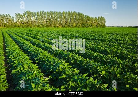 Mitte Wachstum Soja Field, Manitoba, Kanada - Stockfoto