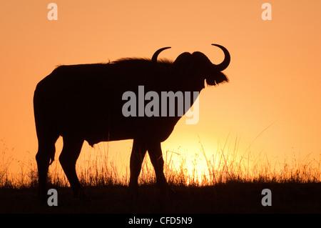 Afrikanischer Büffel (Syncerus Caffer) Stier bei Sonnenaufgang, Masai Mara Reserve, Kenia, Ostafrika - Stockfoto