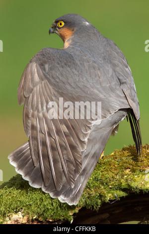 Nahaufnahme von einem männlichen Sperber (Accipiter Nisus) erstreckt sich seine Flügel auf einem Toten Ast sitzend - Stockfoto