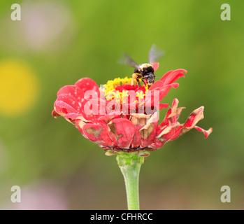 Afrikanischen Honigbiene (Apis mellifera scutellata) Bestäubung rote Blume - Stockfoto