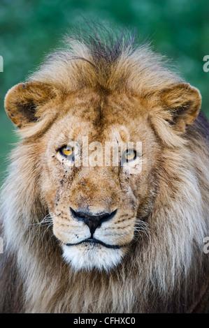 Männlichen afrikanischen Löwen am großen Moor, Ndutu, Ngorongoro, Tansania Stockfoto