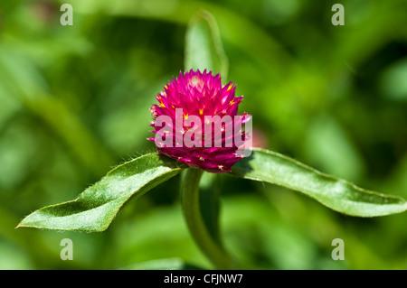 rote Kugel Amaranth Blume nah oben Amaranthaceae Gomphrena Globosa tropischen Amerika - Stockfoto