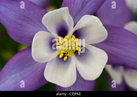 blaue Blumen: Aquilegia Akelei Stockfoto, Bild: 103473500 - Alamy