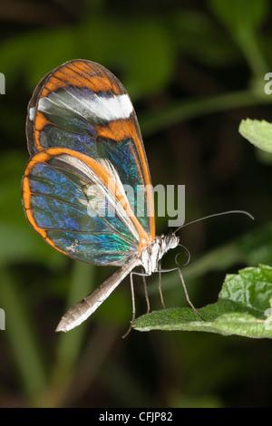 Glasswing Schmetterling in Gefangenschaft auf einer Schmetterlingsfarm - Stockfoto