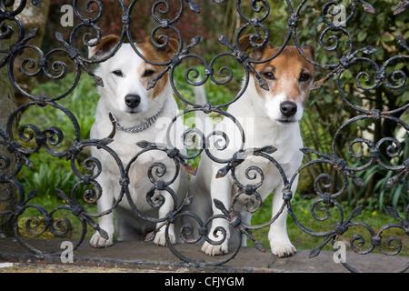 Zwei kleine Hunde Blick durch schmiedeeiserne Gartenzaun Geländer - Stockfoto