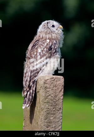 Lange Eared Owl Küken (Asio Otus) - Stockfoto