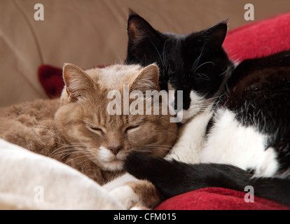 zwei hauskatzen kuscheln stockfoto bild 26010881 alamy. Black Bedroom Furniture Sets. Home Design Ideas