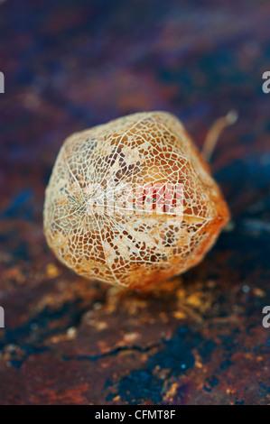 Physalis alkekengi Franchetii''. Chinesische Laterne Obst in morschem papery Schale auf schiefer Hintergrund - Stockfoto