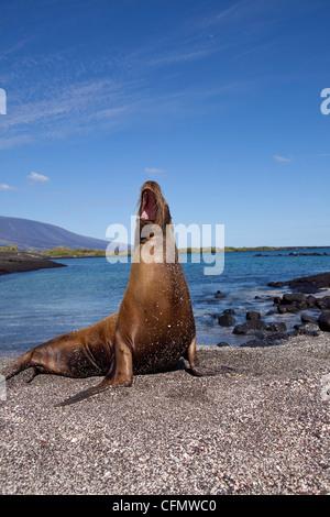 Galapagos-Seelöwe, Punta Espinosa, Fernandina Insel, Galapagos-Inseln, UNESCO Weltnaturerbe, Ecuador, Pazifik - Stockfoto