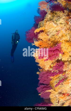 Scuba Diver, rote Seafan, gelben Gorgonien und gelbe Schwämme, Punta Sant'Angelo Tauchplatz, Tyrrhenischen Meer - Stockfoto