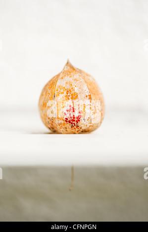Physalis alkekengi Franchetii''. Chinesische Laterne Obst in morschem papery Schale gegen hellen Hintergrund - Stockfoto